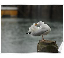 Seagull in the harbour at Ilfracombe Poster