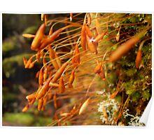 Moss Macro, Cradle Mountain, Tasmania, Australia. Poster