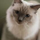 The prettiest Ragdoll Cat by Debbie-anne