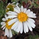 Tiny daisies by Christine Ford
