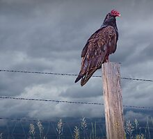 Vulture sitting on a Fence Post by Randall Nyhof