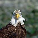 Eagle portrait by Al Williscroft