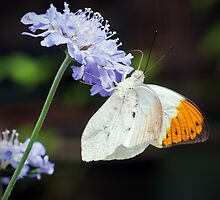 Orange Tip  Butterfly (Anthocharis cardamines) by Steve  Liptrot