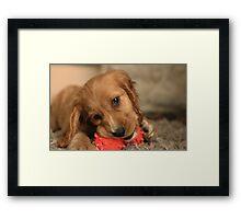 Golden Cocker Spaniel Puppy Framed Print