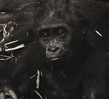 West Lowland Gorilla Baby by Franco De Luca Calce