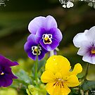 I love my pansies! by Taschja Hattingh