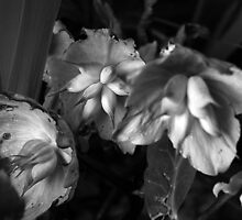 Hellebores Seed Pods by rosie320d