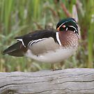 Wood Duck by Dennis Cheeseman