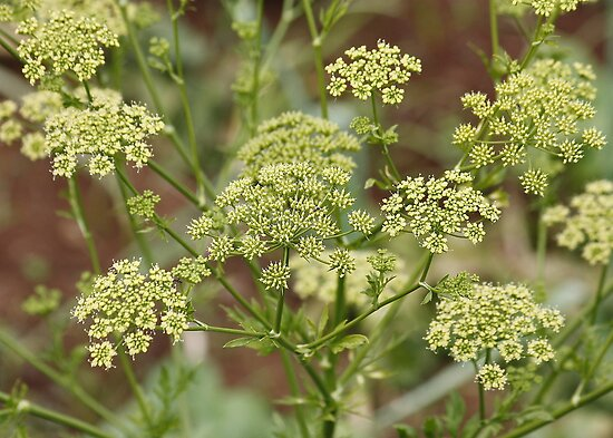 Queen Anne's Lace : Wild Carrot by AnnDixon