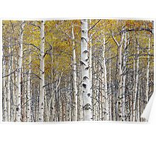 Birch Trees with a touch of yellow color Poster