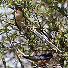 Barn Swallows by Dennis Cheeseman