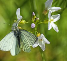 A White Butterfly by VoluntaryRanger