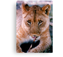 Coy Lion Canvas Print