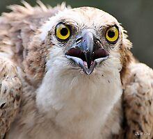 Osprey by Jeff Ore