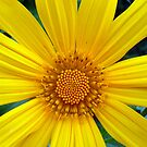 Wild, Yellow Daisy by ange2