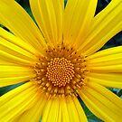 Wild, Yellow Daisy by Angela Gannicott