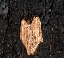 Heart on the bark by Pauline Tims