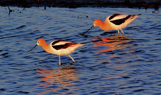 American Avocets by Larry Trupp