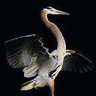 Beautiful Blue Heron by Paulette1021
