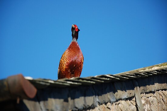 Pheasant Showing Off! by SaffronDunne
