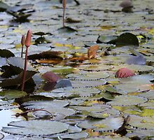 Lilly Pads at Botanic Gardens by Ali Choudhry