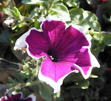 Pansy Flower by ack1128