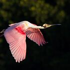 Roseate Spoonbill - Tampa Bay, Florida by Daniel Cadieux