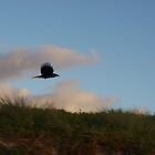 crow in flight  by geophotographic