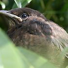 Baby Blackbird by cornishgirlie