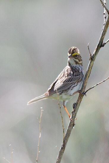 Juvenille Sparrow (2) by c painter