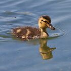 Duckling with Reflection by c painter