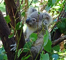 Baby Koala by DarthIndy