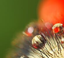 Poppy Drop Abstract by Sharon Johnstone