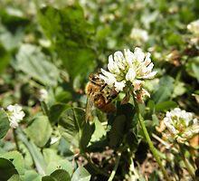 Honeybee on clover Flower by ack1128