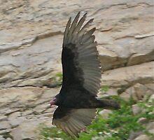 Wisconsin Turkey Vulture by Dave Wildner