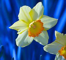 Spring Daffodils by ishotit4u