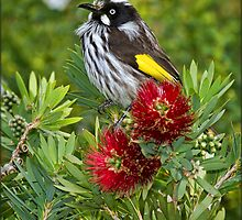 New Holland Honeyeater at Warrawong #3 by Barb Leopold