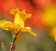 Sunshine On Daffodil by Joanne  Bradley