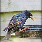 Startling Starling!  by J J  Everson