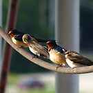 Barn Swallow, Bank Swallow, Barn Swallow, Bank Swallow by Ron Russell
