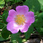 Wild Rose by BluePhoenix