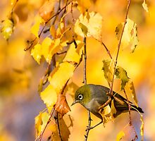 Silvereye and Gold by Kimball Chen