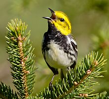 black-throated green warbler by jamesmcdonald