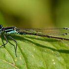 Male dragonfly by Nicole W.