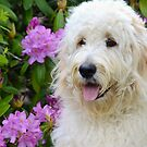 Fluffy Goldendoodle by Maria Dryfhout