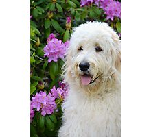 Fluffy Goldendoodle Photographic Print
