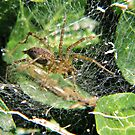 Nursery spider after The Rain by Ron Russell