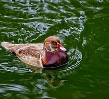 Apricot Wood Duck by Charles  Murray