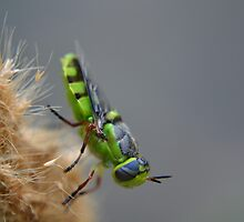 Soldier fly in North Texas by Kate Farkas