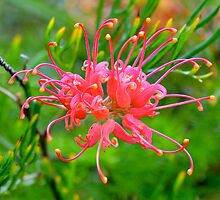 Eye catching Grevillea  by Alison Hill
